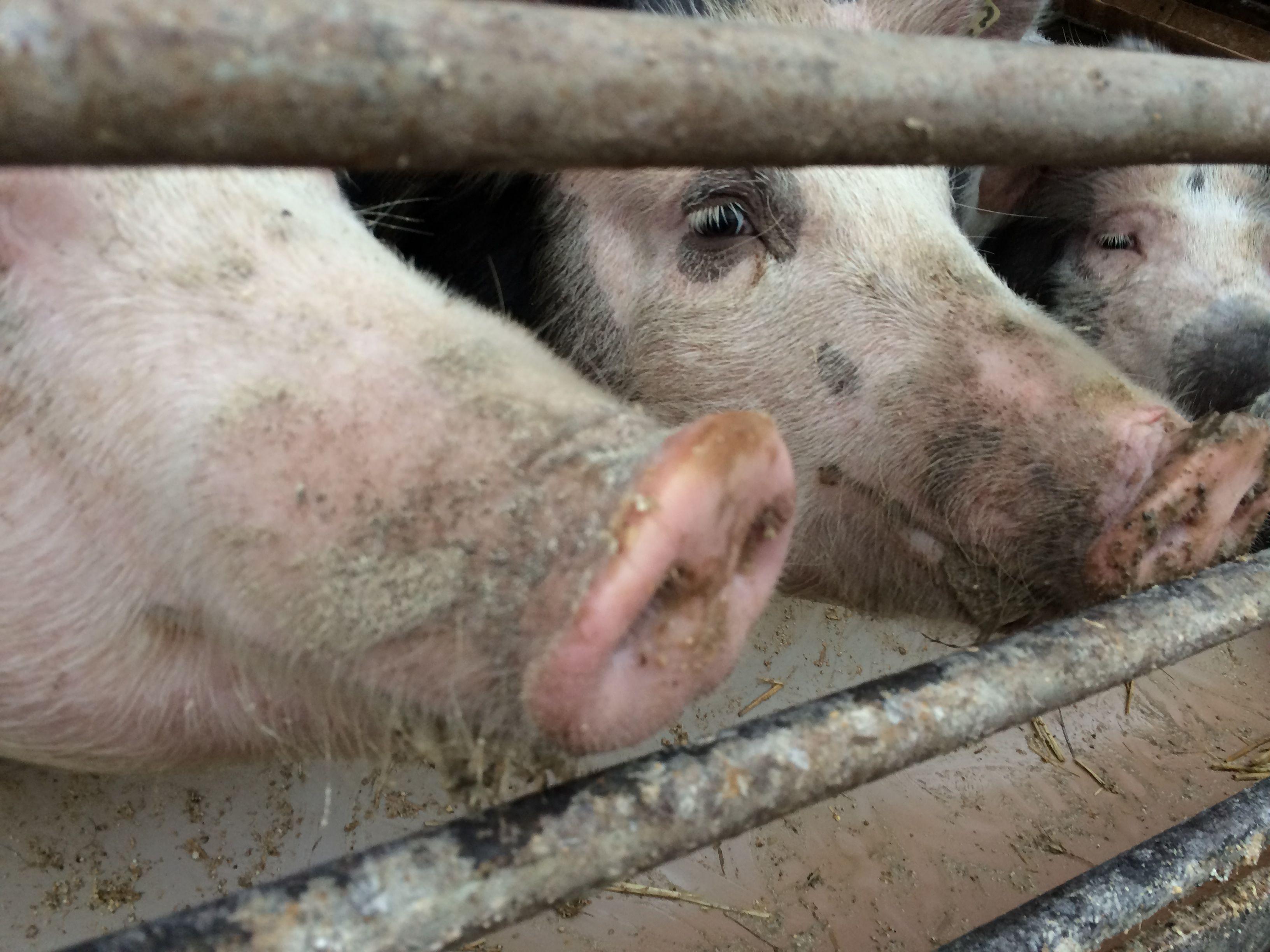 Fröhliche Begrüßung bei den Herrmannsdorfer Landwerkstätten - Schweine in Bioland-Haltung